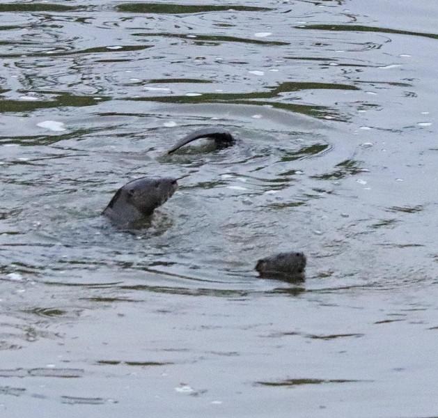 Otters 1