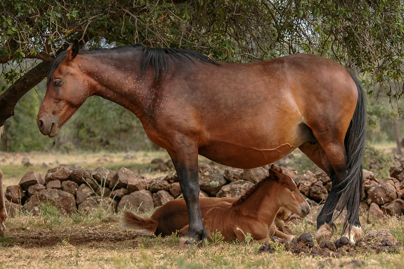 Wild Horse Foal and Mother #4