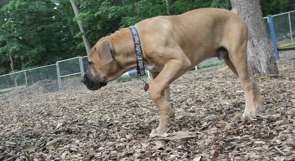 PICS JUNE 17::BODIE (african mastiff)