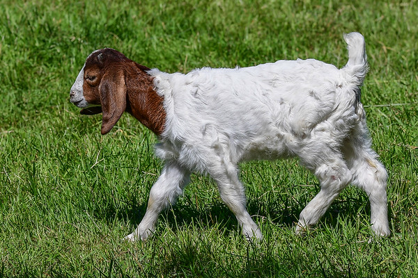 5-267-17 Domestic Goats - Vancouver