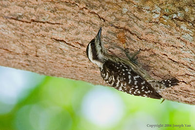 WOODPECKERS AND BARBETS