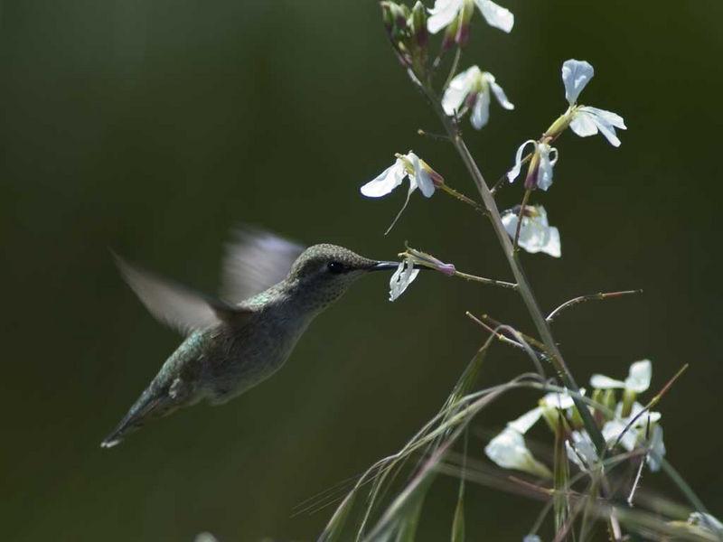 HummingbirdAbbottsLagoon.jpg