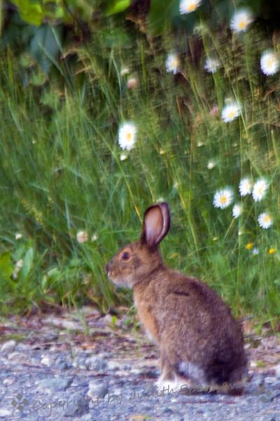 Snow shoe hare2.jpg
