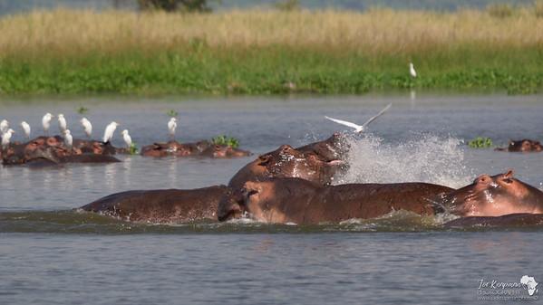 Hippos in Lake Albert