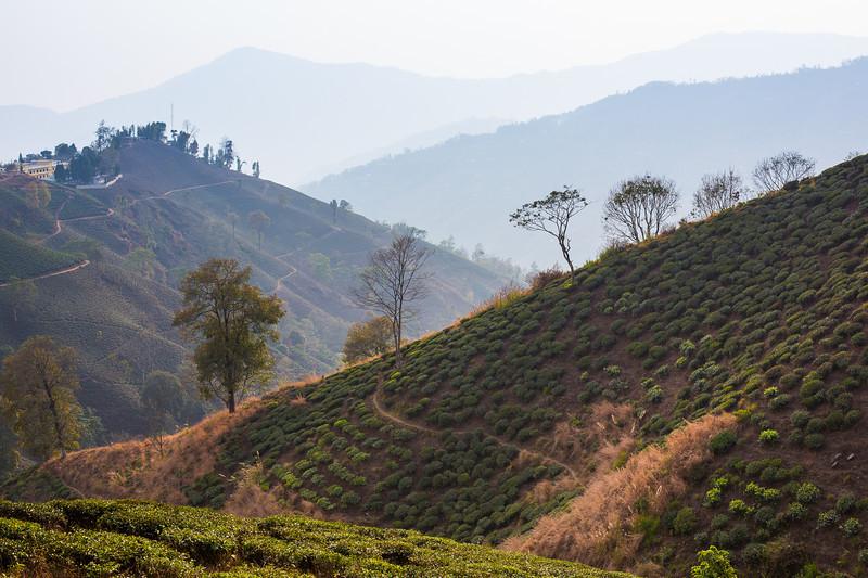 The tea plantations of Ilam - Eastern Nepal