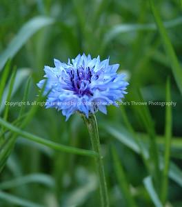 023-blue_flower-warren_co-22may06-6554