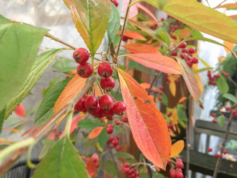 Aronia arbutifolia chokeberry