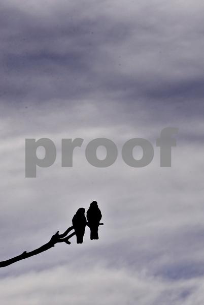 Alpine way galahs in tree 2.jpg