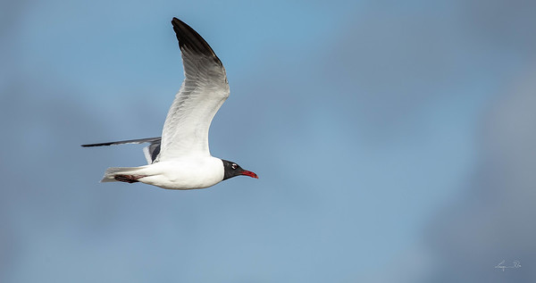 Mouette atricille,  laughing gull