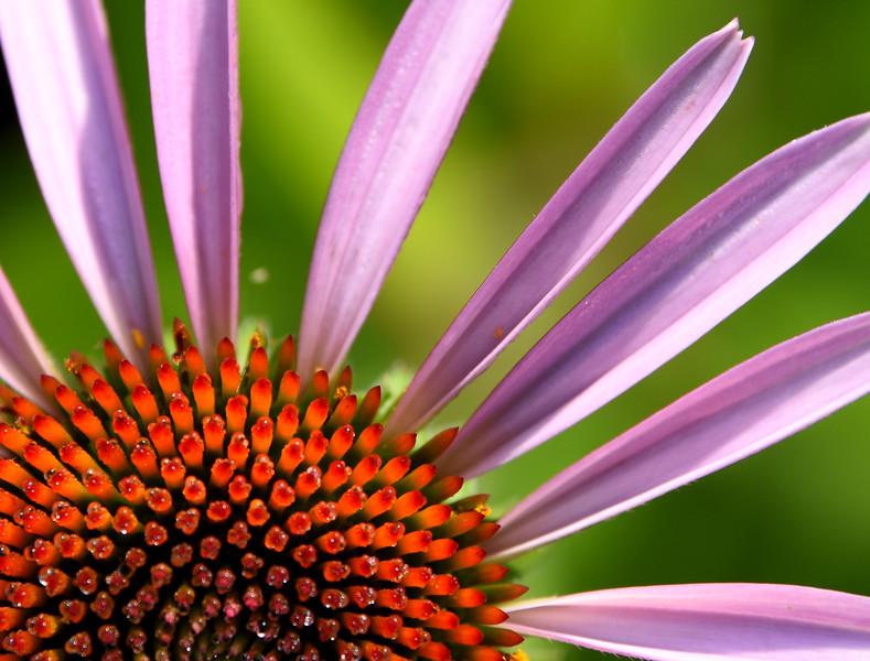 Dew on Echinacea purpurea (Purple coneflower)