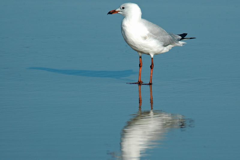 Silver Gull.jpg