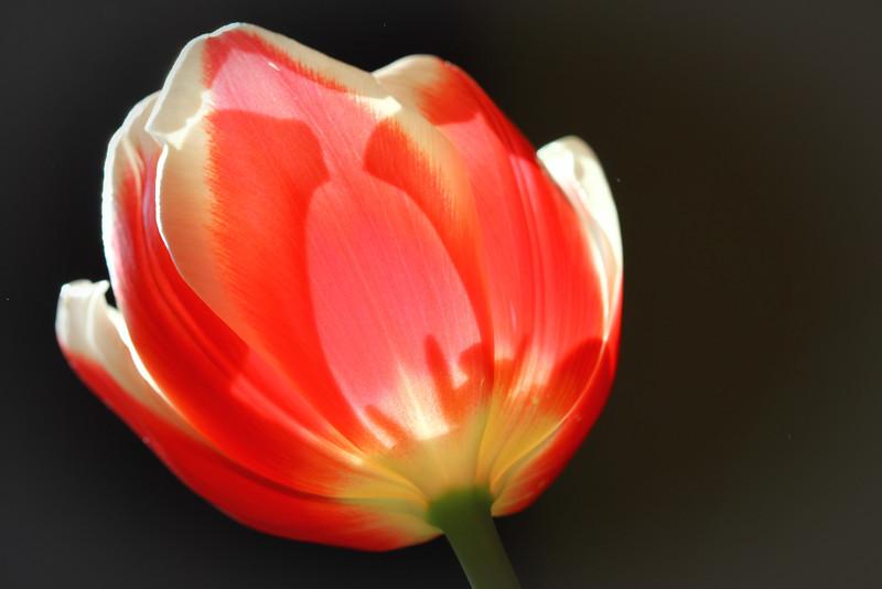 backlit-tulip.jpg
