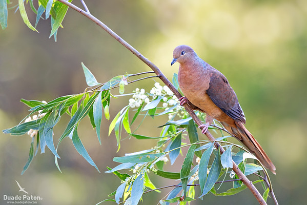 Brown-cuckoo Dove