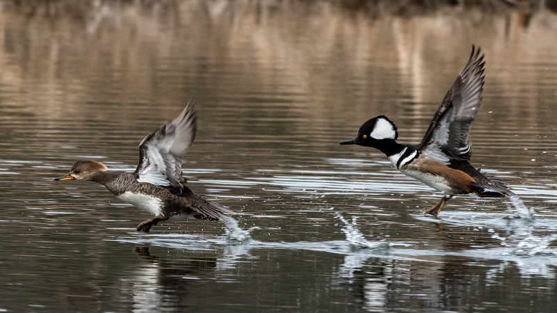 Taking Off - Mergansers