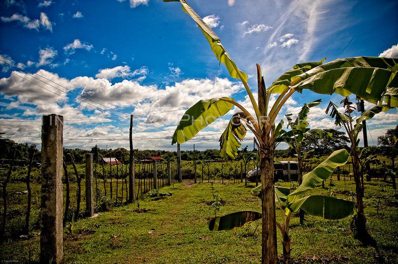 View of a Banana Tree3
