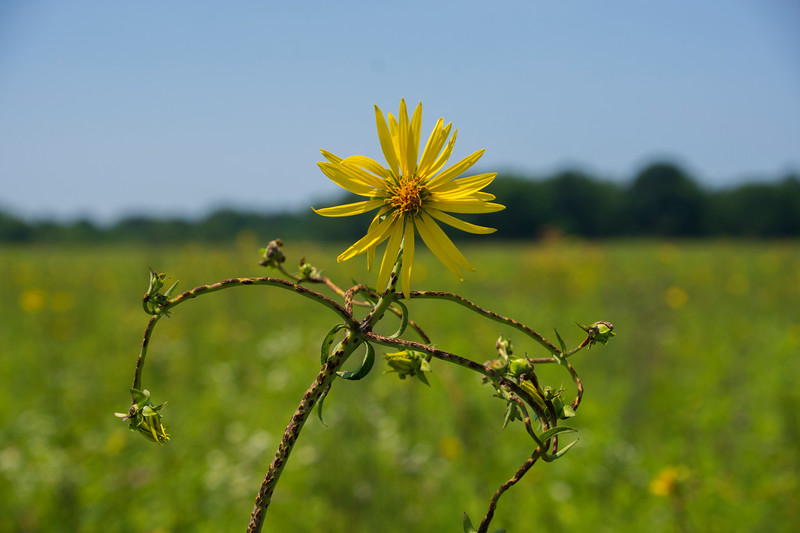 SunflowernecrosiSpringFieldBog.jpg