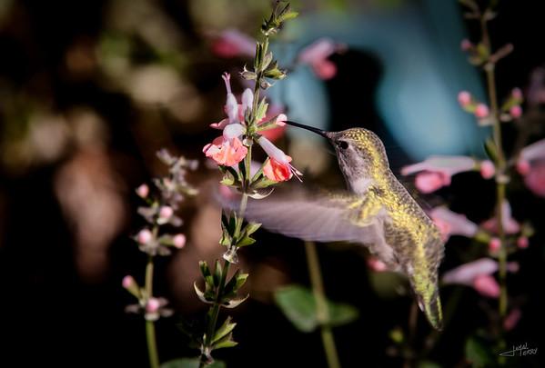 Raptors, Game Birds and Hummingbirds