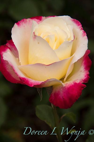 Rosa 'Double Delight'_4083.jpg