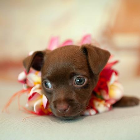 Dara the Aloha Pup
