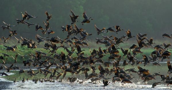 Wandering Whistling Ducks