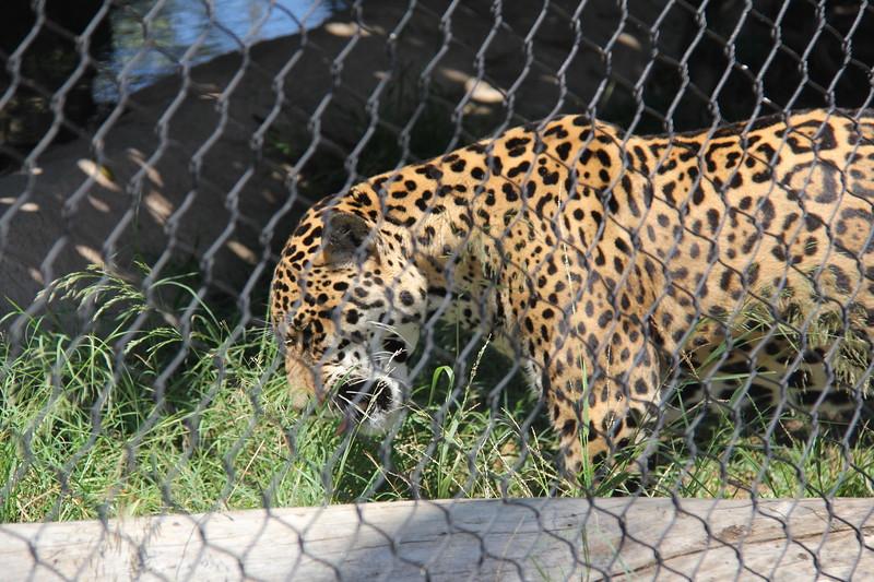 20170807-088 - San Diego Zoo - Leopard.JPG