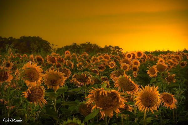 Night Sunflowers in Elverson - 2017