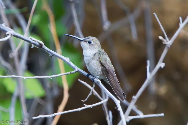 Tumbes Hummingbird at Chaparri Reserve, Lambayeque, Peru (06-27-2010) 419-Edit