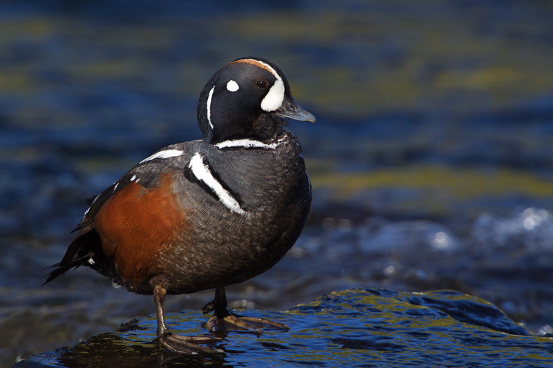 Male Harlequin Duck in mid-June