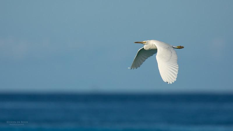 Eastern Reef Egret, Lady Elliot Island, QLD, Dec 2015-4.jpg