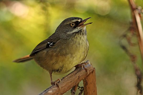 Australian Birds -  Bowerbirds, Fairywrens, Honeyeaters, Lyrebirds, Robins, Scrubwrens, Treecreepers