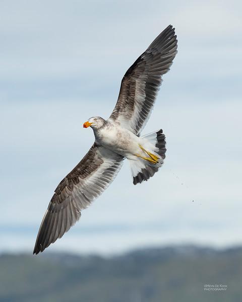 Pacific Gull, Eaglehawk Neck Pelagic, TAS, Dec 2019-3.jpg