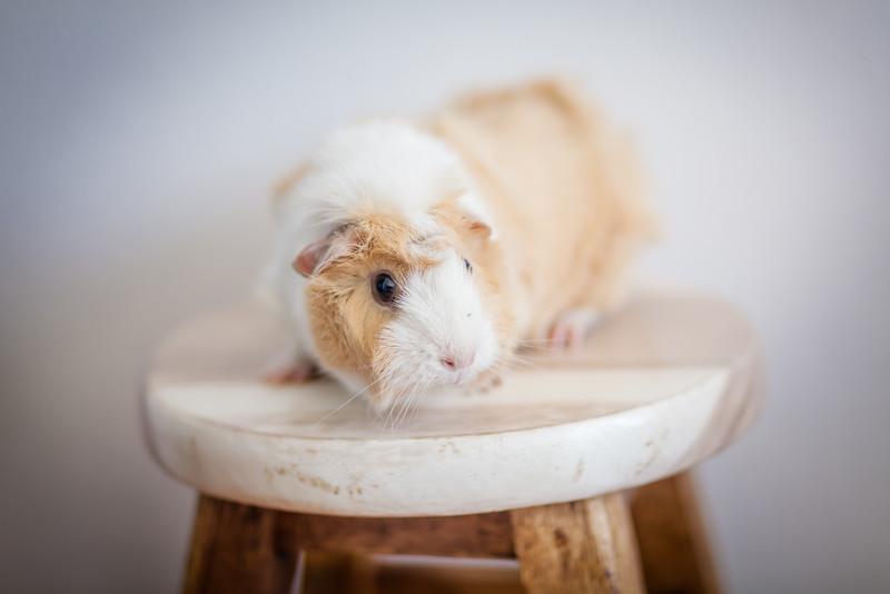 Ginea Pigs-1.jpg
