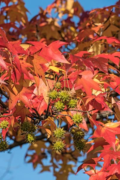 D309-2016 Sweetgum tree   Taken November 5, 2016 Gallup Park, Ann Arbor, Michigan