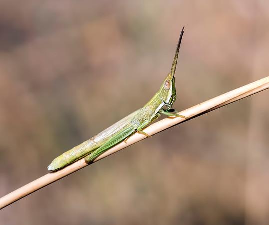 Paropomala wyomingensis (Wyoming Toothpick Grasshopper)