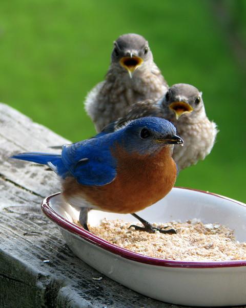 bluebird_fledgling_0343.jpg