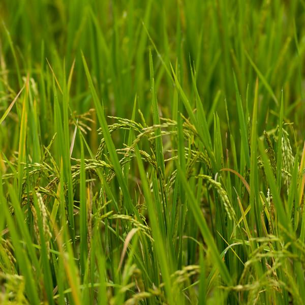 Close-up of rice crop growing in field, Kamu Lodge, Ban Gnoyhai, Luang Prabang, Laos