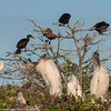 wood storks supervised by cormorants