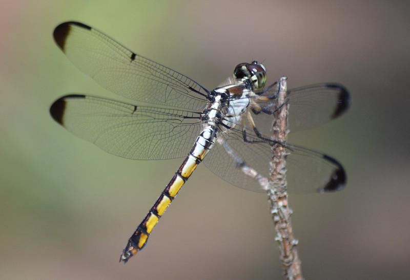 Yellow-black-dragonfly-1600px.jpg