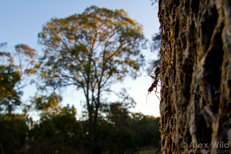 Bull ants are solitary foragers, hunting alone even though they live in colonies. Here, a worker Myrmecia nigriceps descends a tree trunk in a eucalypt woodland.  Yandoit, Victoria, Australia