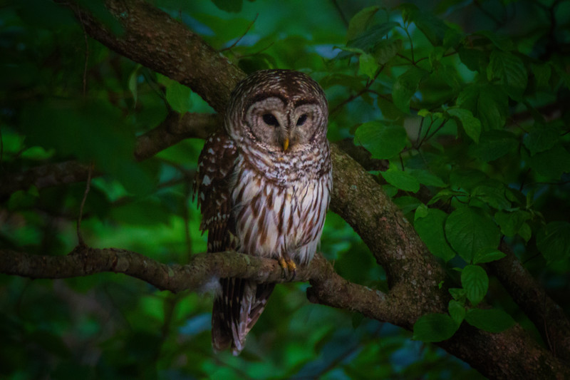 5.22.17 - Prairie Creek Recreation Area: Barred Owl