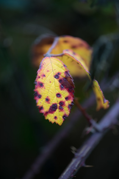 Bramble leaf-1.jpg
