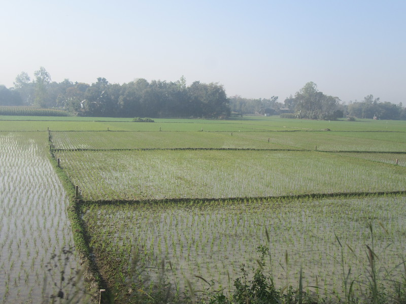 015_Dhaka. Rice Paddies. Three crops a year. Next one in April.JPG