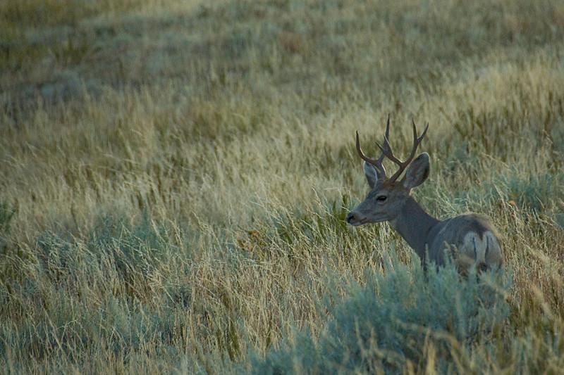 Deer roaming freely in Theodore Roosevelt National Park, North Dakota