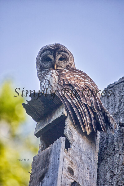 Owl  (42)