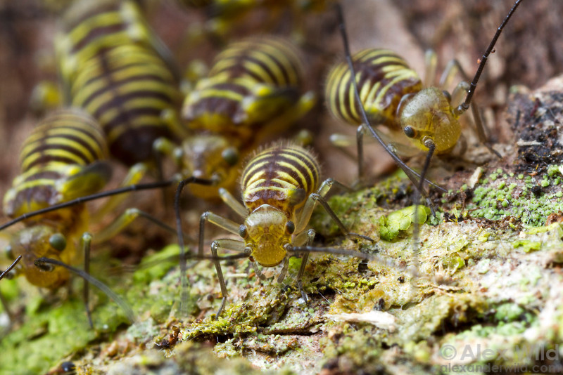 A herd of lichen-feeding bark lice graze their way across a tree trunk.  Icononzo, Tolima, Colombia