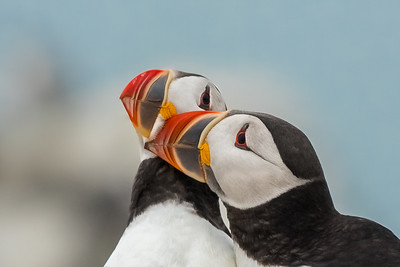 Puffin Lovin- Machias Seal Island, Me