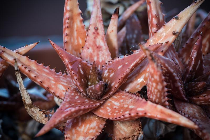 Aloe jucunda DSC_1853.jpg