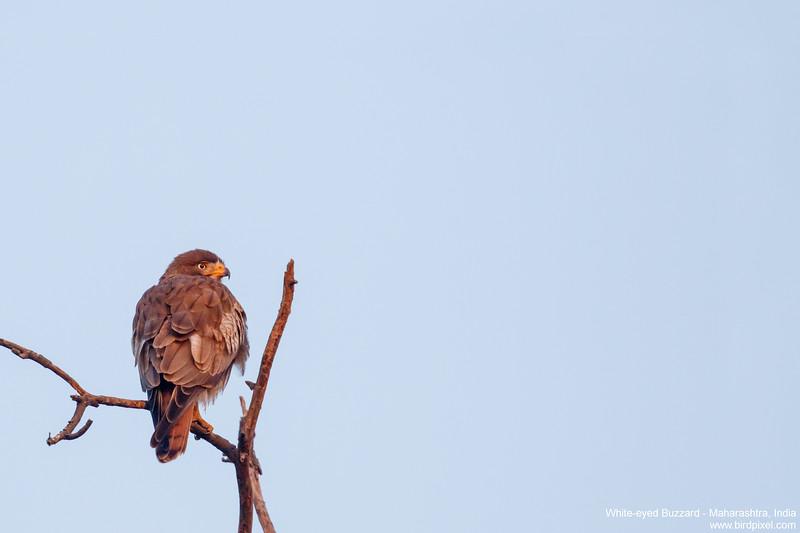 White-eyed Buzzard - Maharashtra, India
