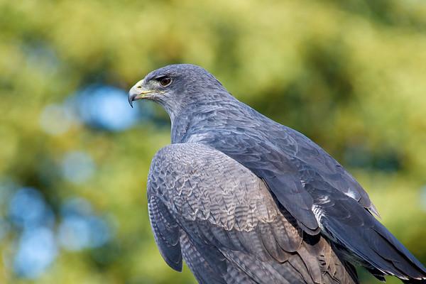 Grey Eagle Buzzard
