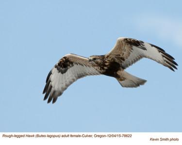 Rough Legged Hawk F78622.jpg